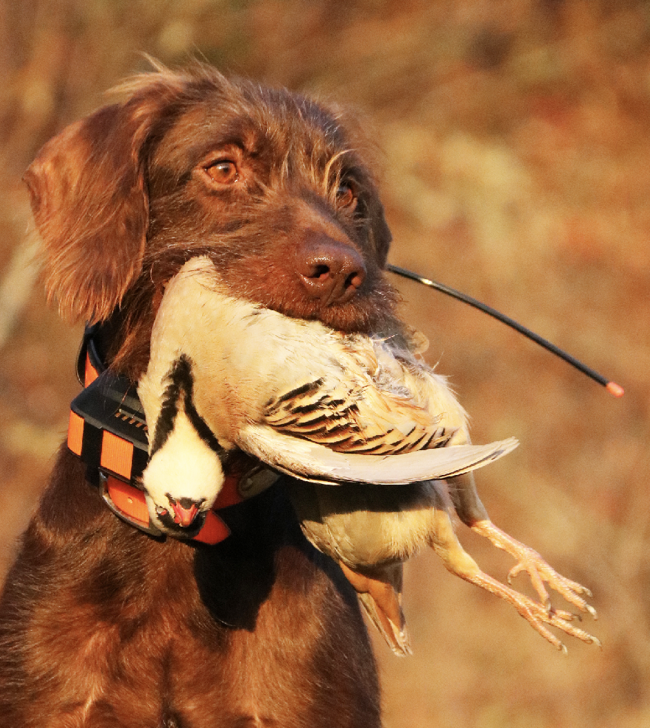 Pudelpointer Pups for Sale - Cabin Creek Gun Dogs